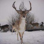 Κοζάνη: Πανέμορφα ζαρκάδια κάνουν τη βόλτα τους στο χιόνι