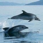 Δελφίνια απολαμβάνουν τη θάλασσα και παίζουν στον Κορινθιακό